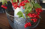 Чай из калины – витаминный напиток для вашего здоровья