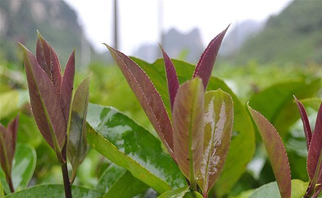зелено-красные листья