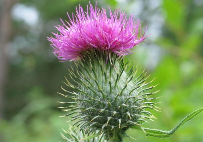 фиолетовый цветок в поле