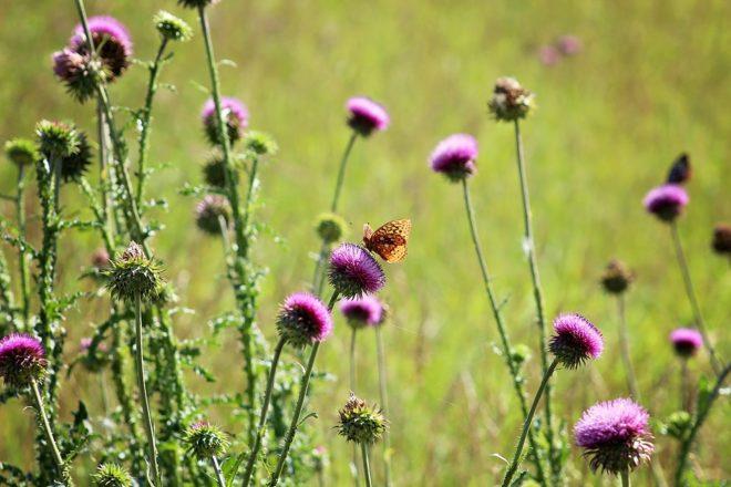 бабочки на фиолетовых цветках