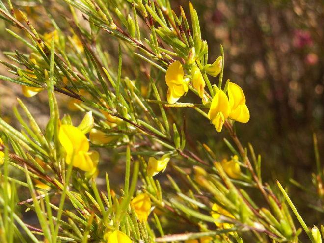 кустарник с желтыми цветами