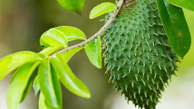 плод на дереве