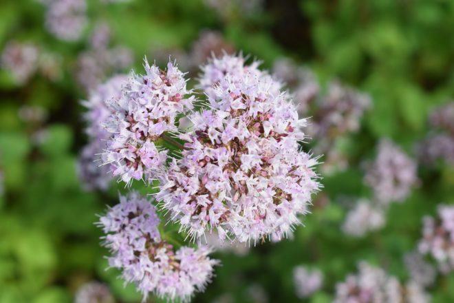цветки сиреневые