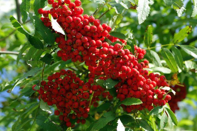рябиновые ягоды