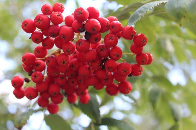 гроздь ягод